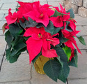Color Star Growers 41434 Poinsettia 4 In