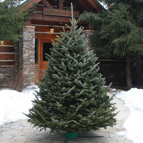 Does Lowes Sell Christmas Trees: Dutchman Tree FF 6-Foot To 8-Foot Fraser Fir Live
