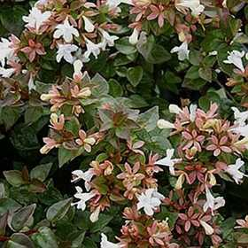 GREENLEAF NURSERY 1030.010.1 Rose Creek Abelia #1 Pot