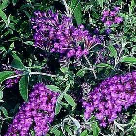 GREENLEAF NURSERY-OK 1667.030.1 Nanho Purple Compact Butterfly Bush #3