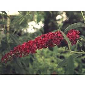 Greenleaf Nursery-OK 1669.030.1 #3 Royal Red Butterfly Bush