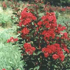 GREENLEAF NURSERY 3754.030.1 Crape Myrtle Red Rocket #3 Pot