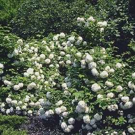GREENLEAF NURSERY-OK 6840.030.1 Viburnum Eastern Snowball #3
