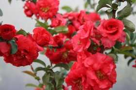 GREENLEAF NURSERY-OK 4209.031.1 Double Take Pinkstorm Quince 3dp