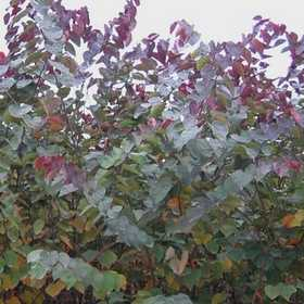 GREENLEAF NURSERY-OK 2499.070.1 Burgundy Hearts Redbud #7