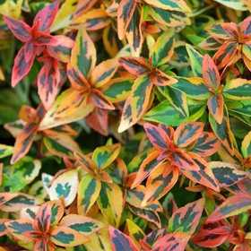GREENLEAF NURSERY 1993.030.1 Kaleidoscope Abelia Pp16988 #3