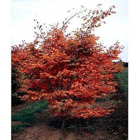 GREENLEAF NURSERY-OK 8124.150.1 Oshio-Beni Japanese Maple #15