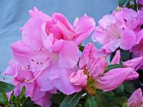 GREENLEAF NURSERY-OK 5248.031.1 Pink Adoration ReBloom Azalea 3dp