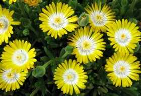 GREENLEAF NURSERY-OK 5979.007.1 Quart Jewel Of Desert Peridott Ice Plant