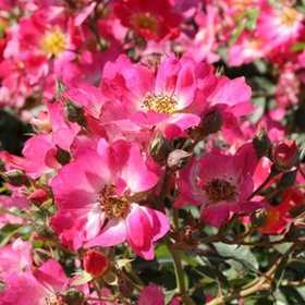 GREENLEAF NURSERY-OK 3652.081.1 Pink Drift Rose 8dp