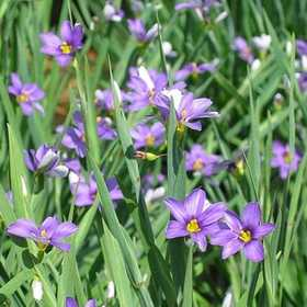 GREENLEAF NURSERY-OK 1101.007.1 Lucerne Blue-Eyed Grass Quart