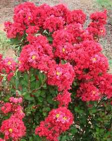 GREENLEAF NURSERY-OK 6112.081.1 Enduring Summ Red Crape Myrtle 8 in