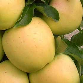 GREENLEAF NURSERY-OK 5135.051.1 Golden Treat Urban Apple 5dp