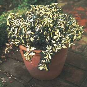 GREENLEAF NURSERY-OK 2430.010.1 Moonshadow Euonymus #1 Pot