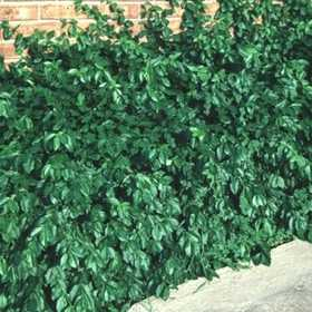 GREENLEAF NURSERY-OK 2600.010.1 #1 Manhattan Euonymus