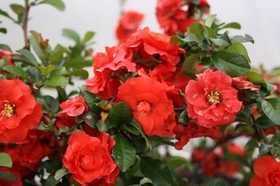 GREENLEAF NURSERY-OK 4211.081.1 Double Take Orangestorm Quince 8dp