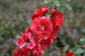 GREENLEAF NURSERY-OK 4208.081.1 Double Take Scarlet Storm Quince 8dp