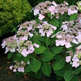 GREENLEAF NURSERY-OK 3411.081.1 Hydrangea End Summer Twist N Shout 8dp