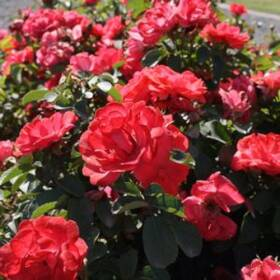 GREENLEAF NURSERY-OK 3649.008.1 Coral Drift Rose 8dp