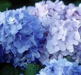 GREENLEAF NURSERY-OK 0507.021.1 Hydrangea Endless Summer 2dp