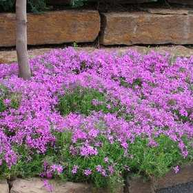 GREENLEAF NURSERY-OK 4800.007.1 Creeping Pink Phlox Quart
