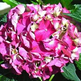GREENLEAF NURSERY-OK 3086.010.1 Glowing Embers Hydrangea #1 Pot
