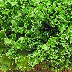 Plantation Products 41719 Lettuce Grand Rapids