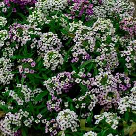 PLANTATION PRODUCTS, INC 41680 Alyssum Annual Pastel Carpet Mixed Colors