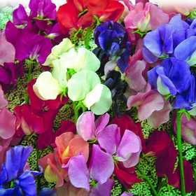 PLANTATION PRODUCTS, INC 41687 Sweet Peas Annual Early Flower Mix