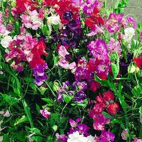 PLANTATION PRODUCTS, INC 41689 Sweet Peas Royal Family Mixed Colors