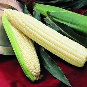 PLANTATION PRODUCTS, INC 41713 Silver Queen Hybrid Sweet Corn