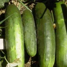 PLANTATION PRODUCTS, INC 41714 Marketmore 76 Cucumber