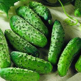 PLANTATION PRODUCTS, INC 41715 National Pickling Cucumber