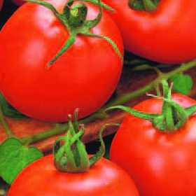 PLANTATION PRODUCTS, INC 41674 Better Boy Hybrid Tomato