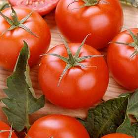 Plantation Products 41675 Rutgers Tomato