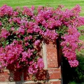 GREENLEAF NURSERY 1345.010.1 Rosey Carpet Crape Myrtle #1