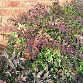 GREENLEAF NURSERY 1346.010.1 Sunray Nandina #1 Pot