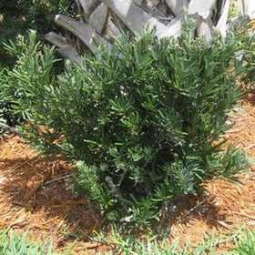 GREENLEAF NURSERY 1513.010.1 Pringle's Dwarf Podocarpus #1 Pot