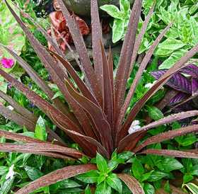 GREENLEAF NURSERY 1514.030.1 Red Star Cordyline #3 Pot