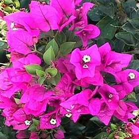 GREENLEAF NURSERY 1627.033.1 Royal Purple Bougainvillea Bush #3gp