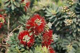 GREENLEAF NURSERY 1635.010.1 Little John Dwarf Bottlebrush #1 Pot