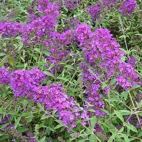 GREENLEAF NURSERY 1667.010.1 Nanho Purple Compact Butterfly Bush #1