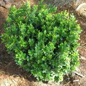 GREENLEAF NURSERY 1884.020.1 Baby Gem Boxwood #2 Pot