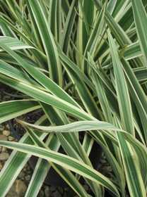GREENLEAF NURSERY 1998.030.1 Variegated Flax Lily #3 Pot