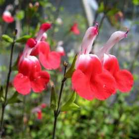 GREENLEAF NURSERY 2096.111.1 Hot Lips Salvia 1dp