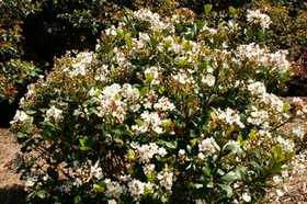 GREENLEAF NURSERY 2213.010.1 Spring Sonata Indian Hawthorn #1