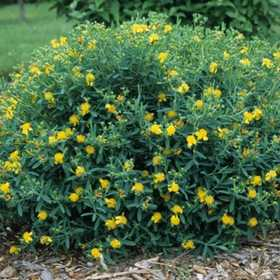 GREENLEAF NURSERY 2655.010.1 Blue Velvet St Johns Wort #1