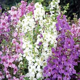 GREENLEAF NURSERY 2817.111.1 Serena Purple Angelonia #1 Pot