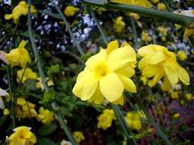 GREENLEAF NURSERY 3720.010.1 Primrose Jasmine #1 Pot