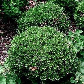 GREENLEAF NURSERY 1700.010.1 Wintergreen Boxwood #1 Pot